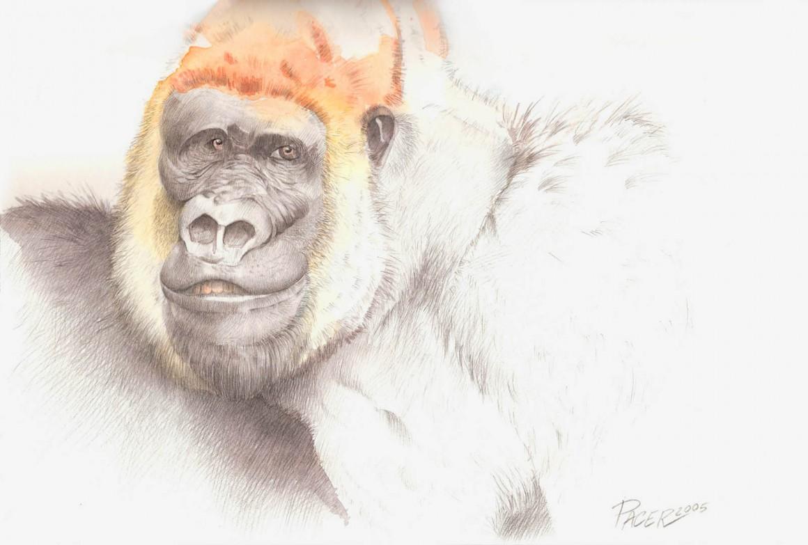 Illustrazione6_Gorilla